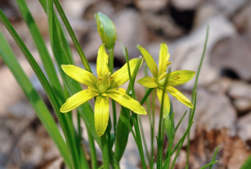 Цветы похожие на маленькие лилии
