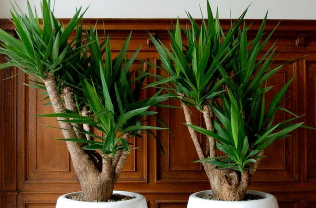 Как рассадить юкку в домашних условиях
