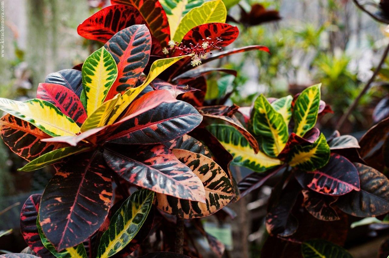 Кротон в домашних условиях. Почему у кротона листья желтеют и опадают