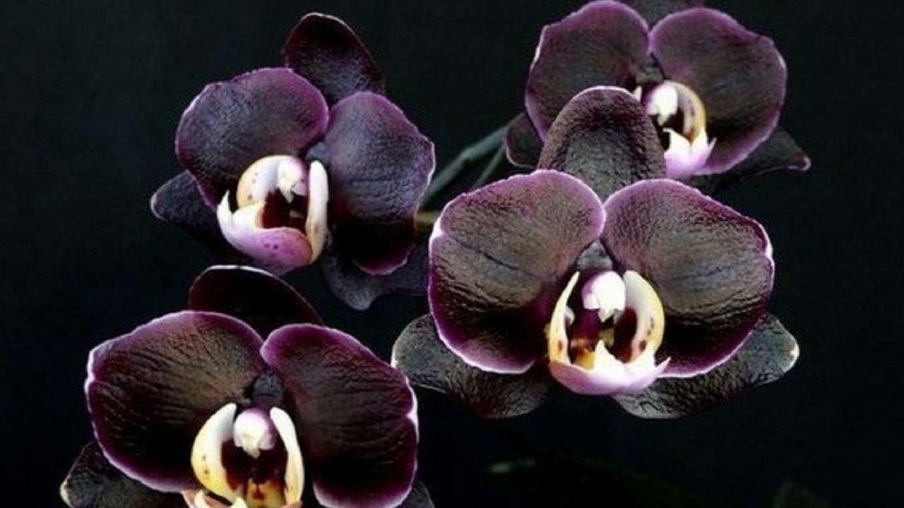 Орхидея черный тигр