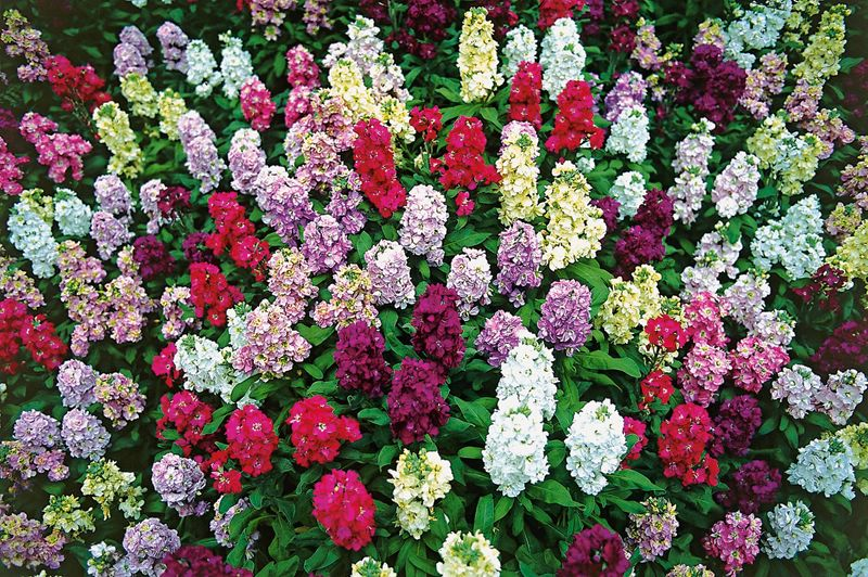 Агротехника выращивания цветка левкой в саду: как ухаживать, размножать, поливать