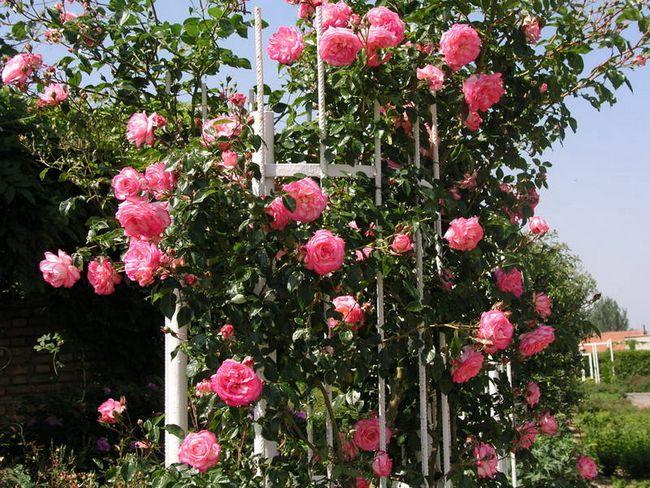 Плетистая культура Хендель: что это за ирландский сорт роз ...