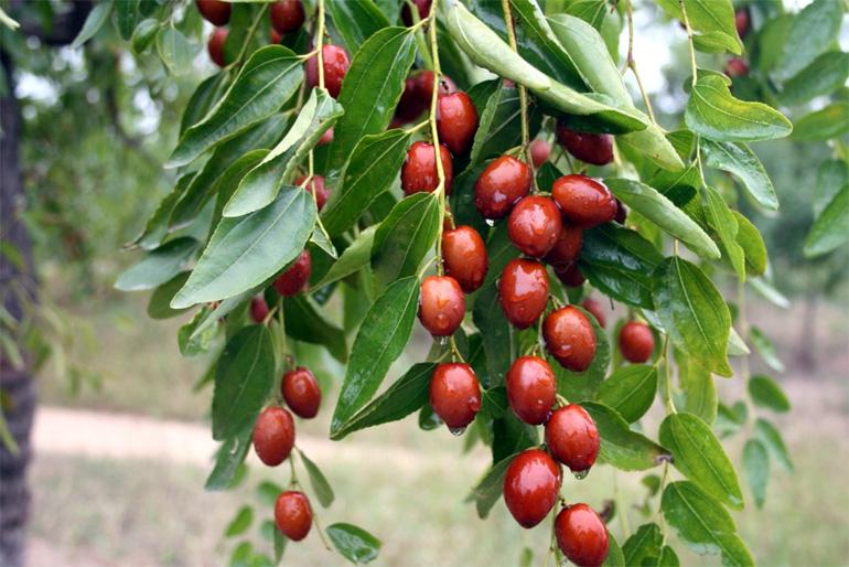 Унаби как выращивать