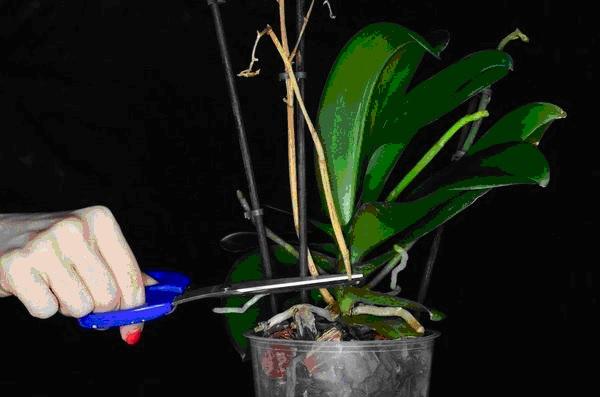 Как правильно обрезать цветонос орхидеи после цветения