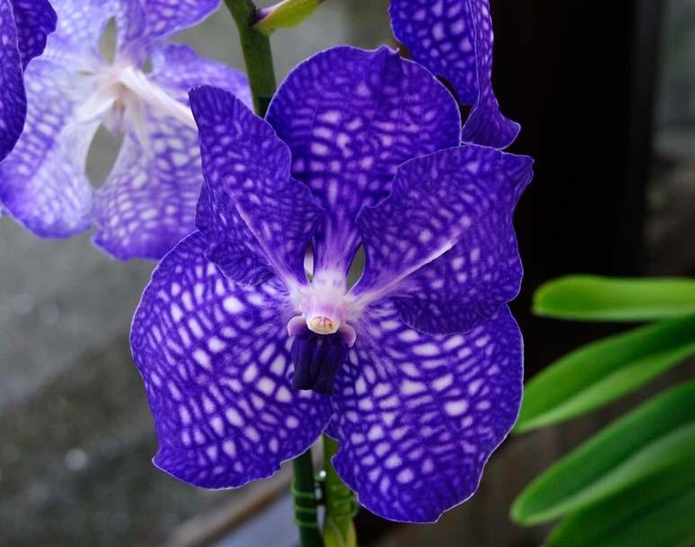 Чем поливать орхидею чтобы она стала синей
