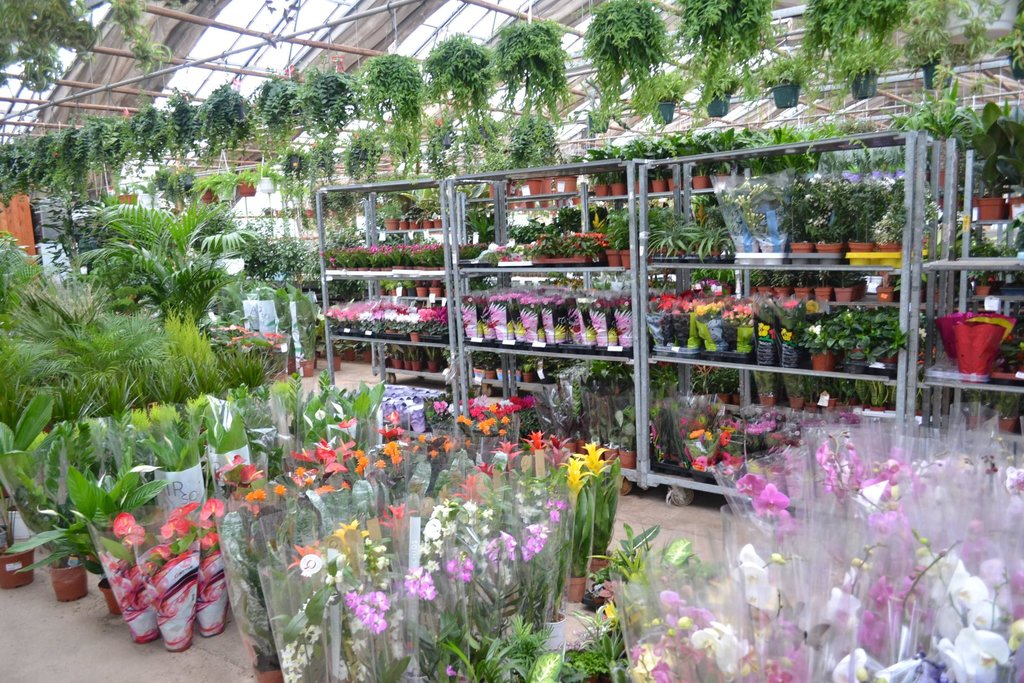 Уход в домашних условиях за розой в горшке после покупки: как ухаживать за комнатными растением и что делать, если оно засыхает, как спасти цветок?