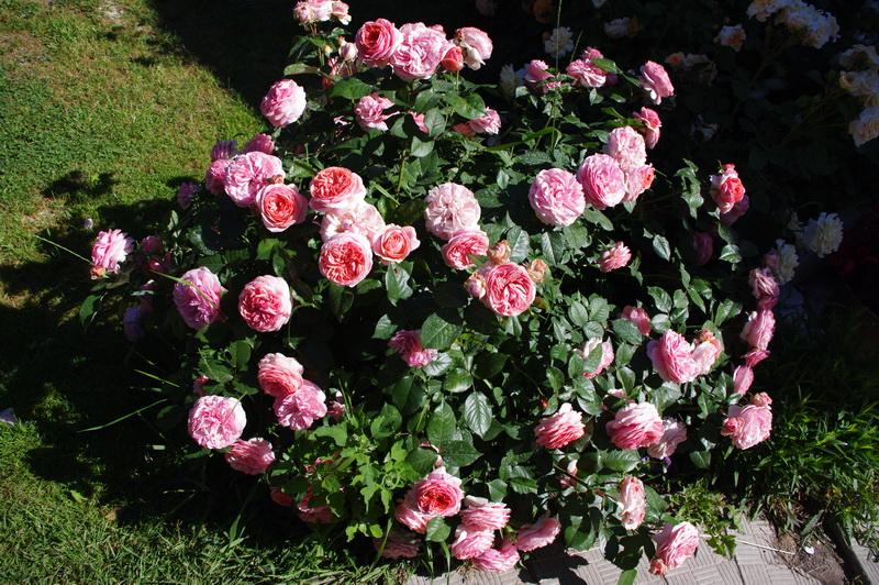 Роза Блаш: описание и характеристики сорта, правила выращивания, размножение