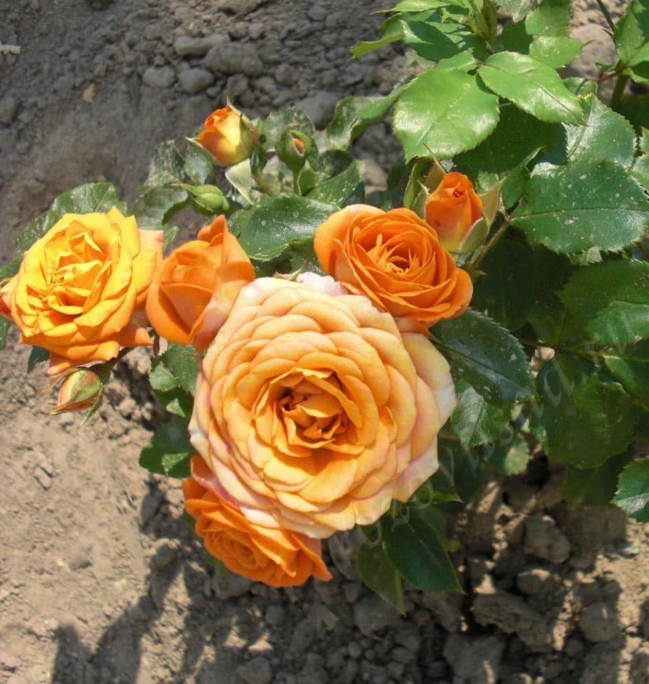 решетова бордюрные розы сорта фото с названиями этой статье разберем