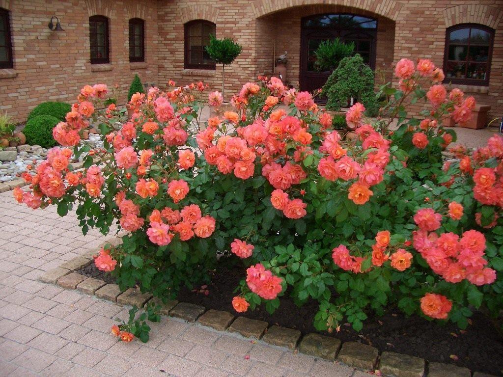 Расстояние между кустами роз при осенней посадке в открытый грунт