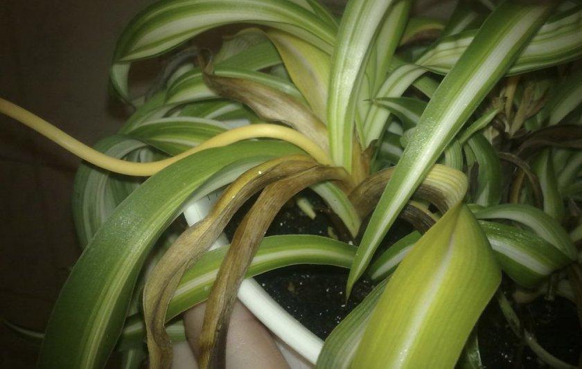 Сохнут листья у хлорофитума что делать если сохнут и чернеют листья на концах Причины и методы борьбы