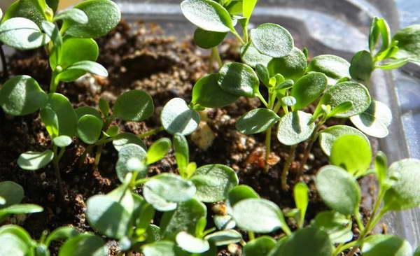 Иберис: посадка и уход в открытом грунте, выращивание из семян, описание сортов и видов