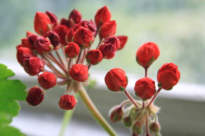 Марбаска тюльпан пеларгония — О цветах