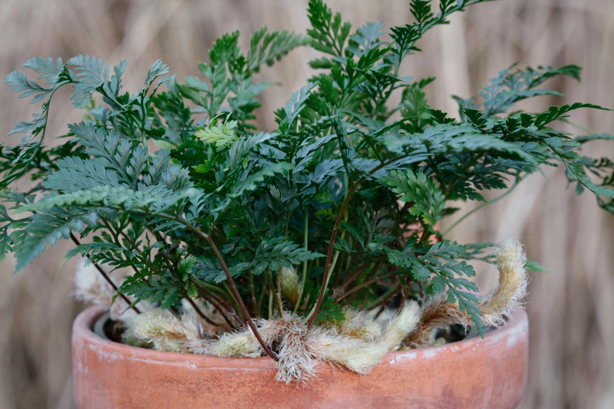 Комнатные папоротники (30 фото): уход за домашними растениями. Условия для цветов