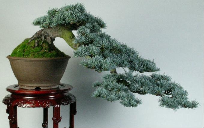 Декоративное растение бонсай