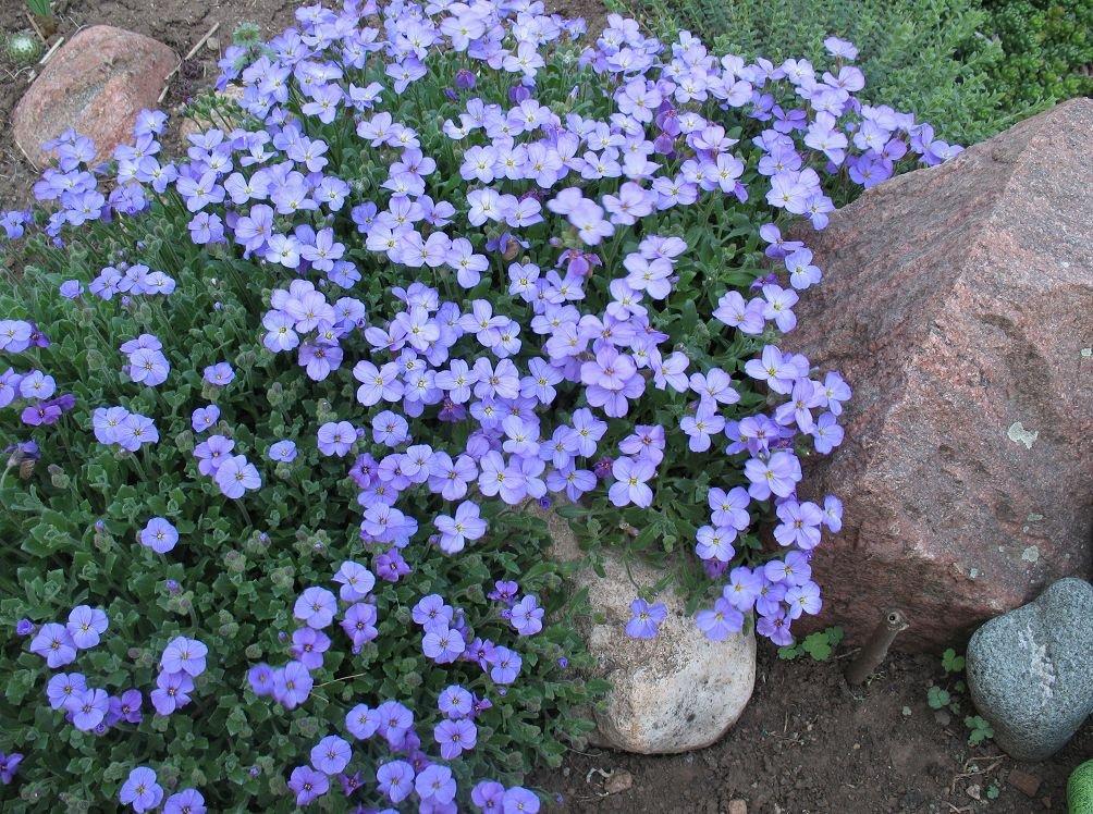 Выращивание обриеты из семян уход за обриетой в саду