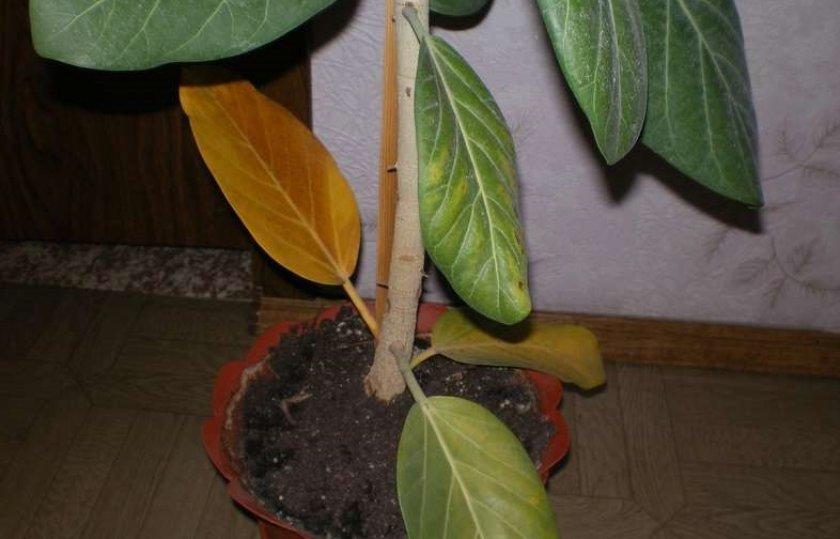 Фикусы лировидные 41 фото правила ухода за лиратой Бамбино в домашних условиях особенности размножения листом правила формирования кроны