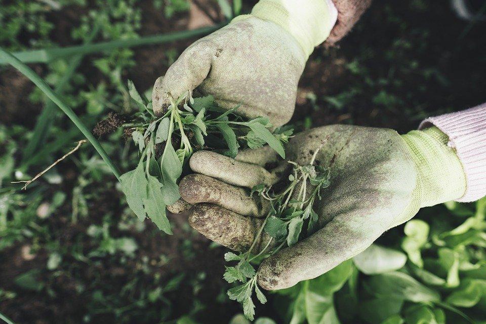 Как бороться с вьюном на картофельном поле
