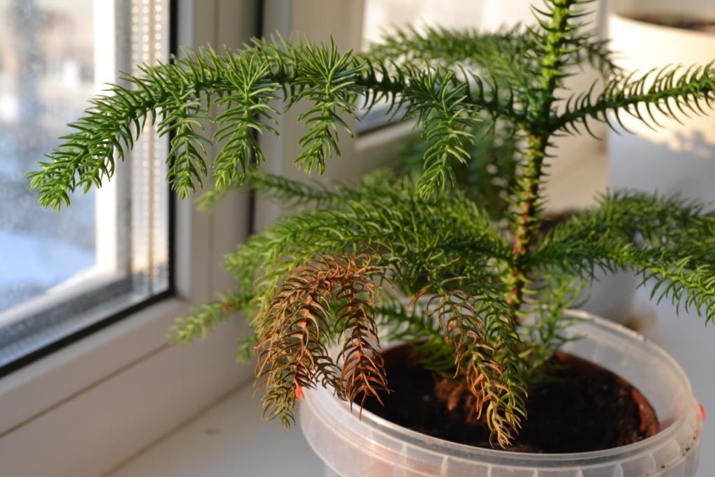 Араукария высокая комнатные растения