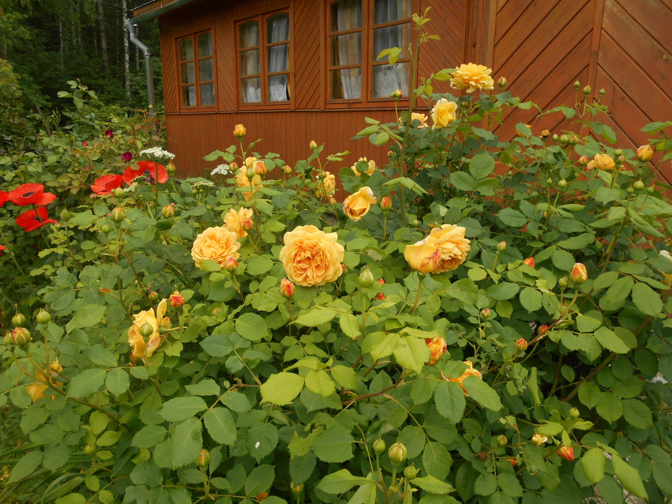 Плетистая роза голден клаймбер