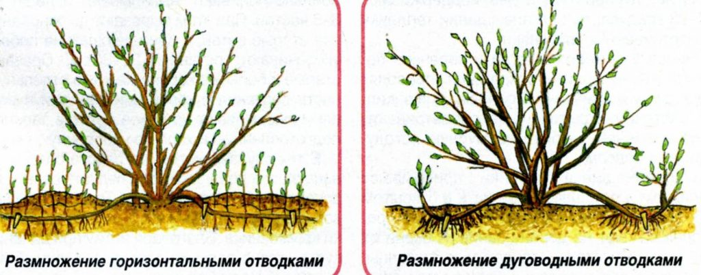Размножение чубушника одревесневшими черенками - Сад и огород
