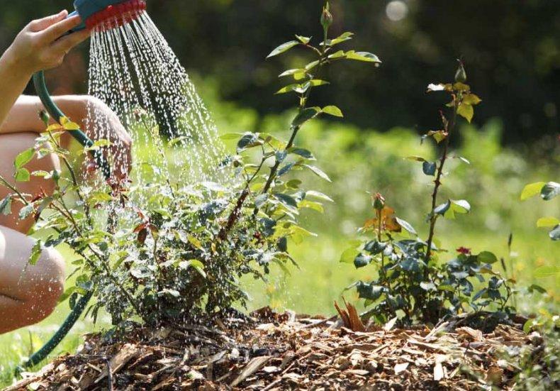 Посадка роз в открытый грунт летом. Как правильно подготовить грунт