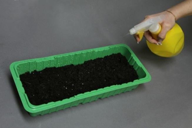 Как посадить глоксинию из семян