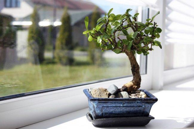 Как правильно вырастить бонсай в домашних условиях