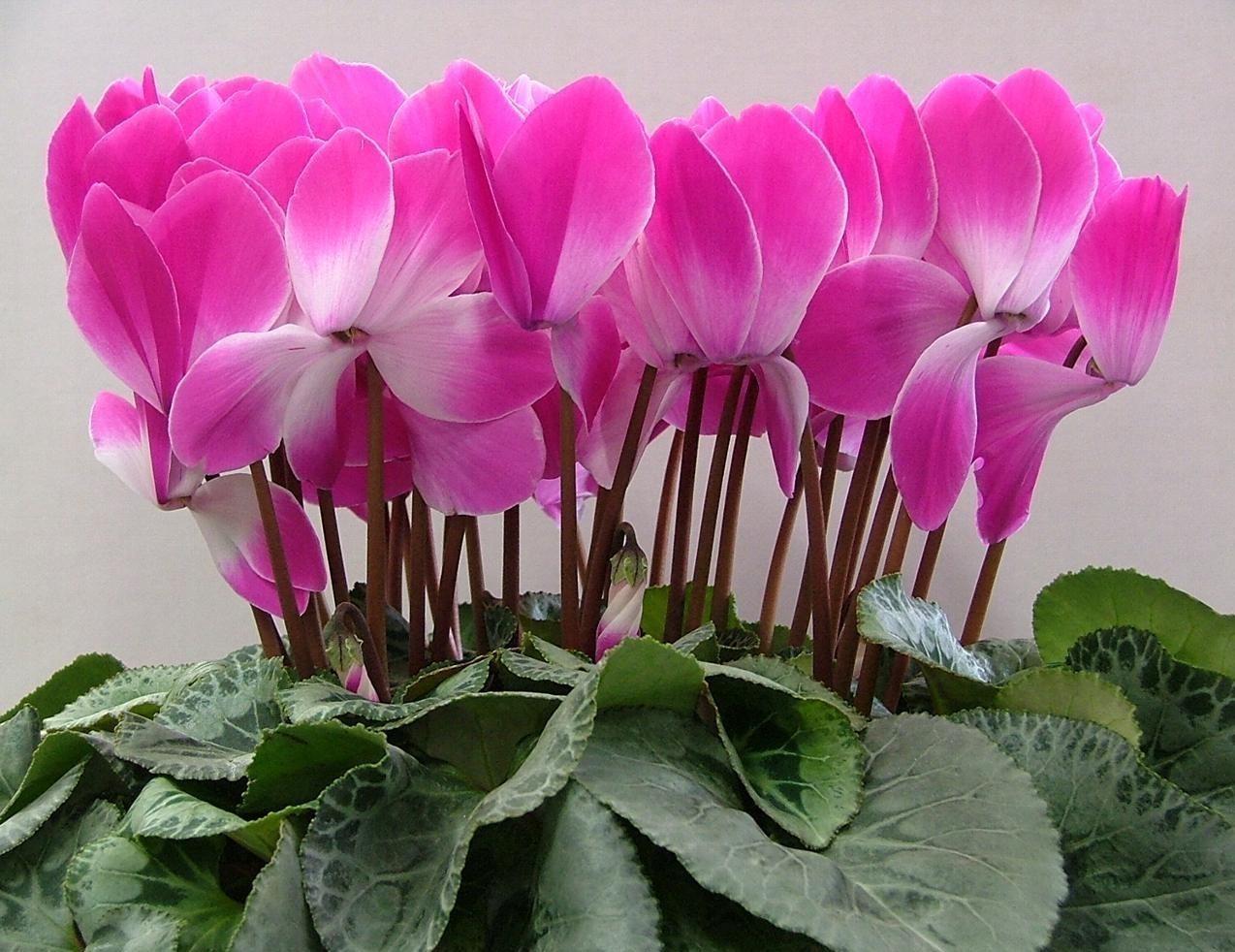 Комнатный цветок цикламен как ухаживать в домашних условиях, как заставить хорошо расти и регулярно цвести, посадка и пересадка дряквы