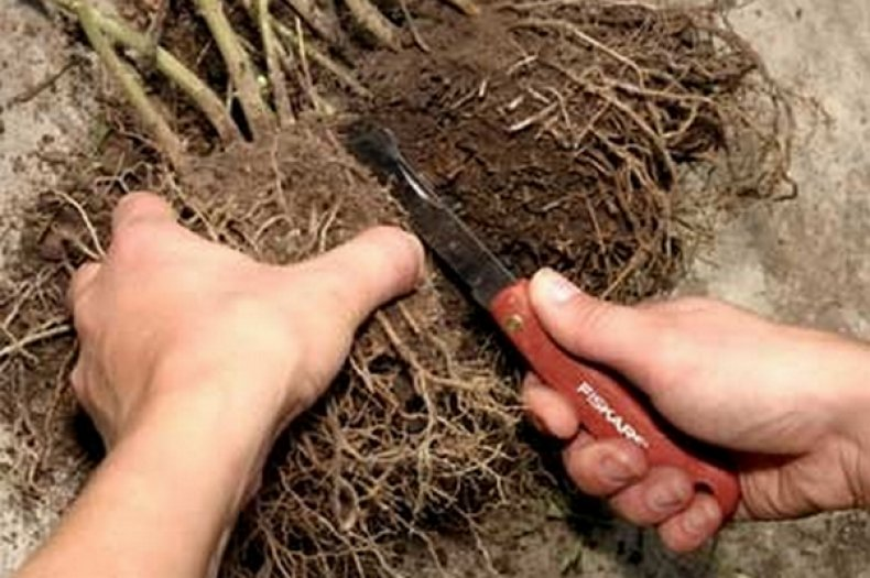 Как размножить чубушник — весной, летом