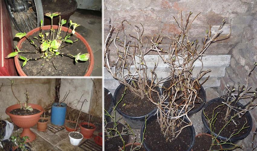Почва для комнатной гортензии