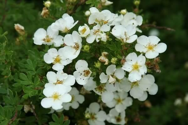 Лапчатка — виды и сорта растения, характеристики