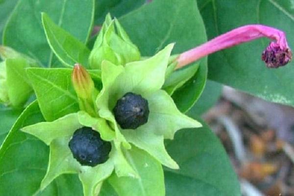 Мирабилис выращивание из семян когда сажать