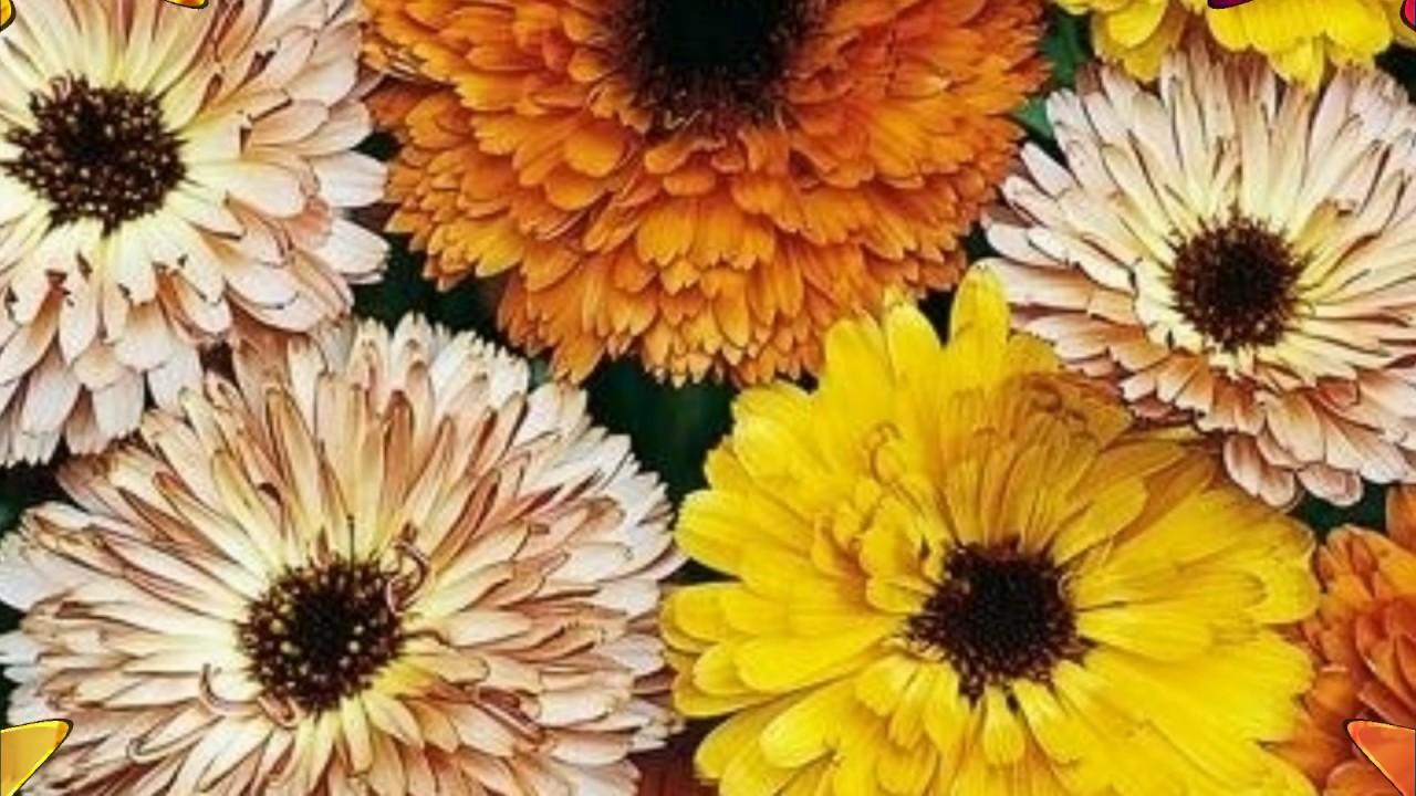 Как выглядят ромашки цветы
