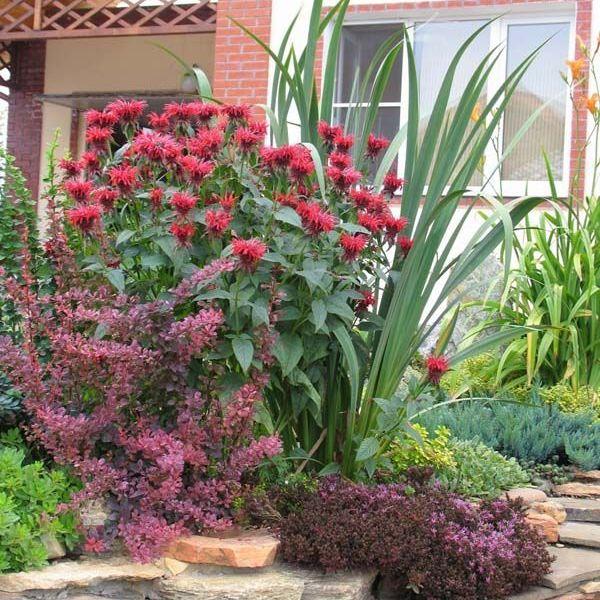 Монарда гибридная Гадэнвью Скарлет (Monarda hybrid Gardenvieuw Scarlet) (корневище), 1шт.