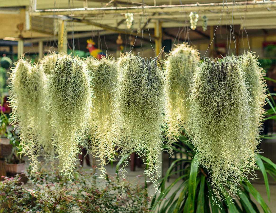 Тилландсия (41 фото): уход за цветком в домашних условиях. Описание тилландсии уснеевидной и синей, фиалкоцветковой и других видов