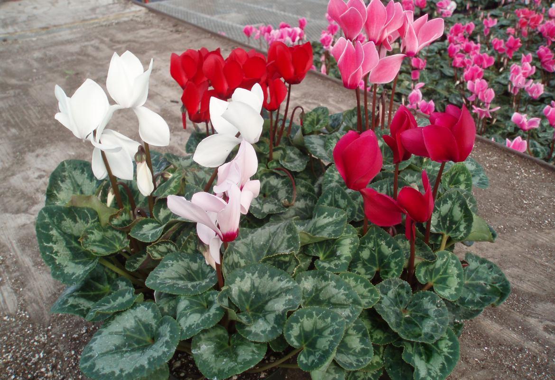 Как ухаживать за цикламеном персидским в домашних условиях после покупки и потом