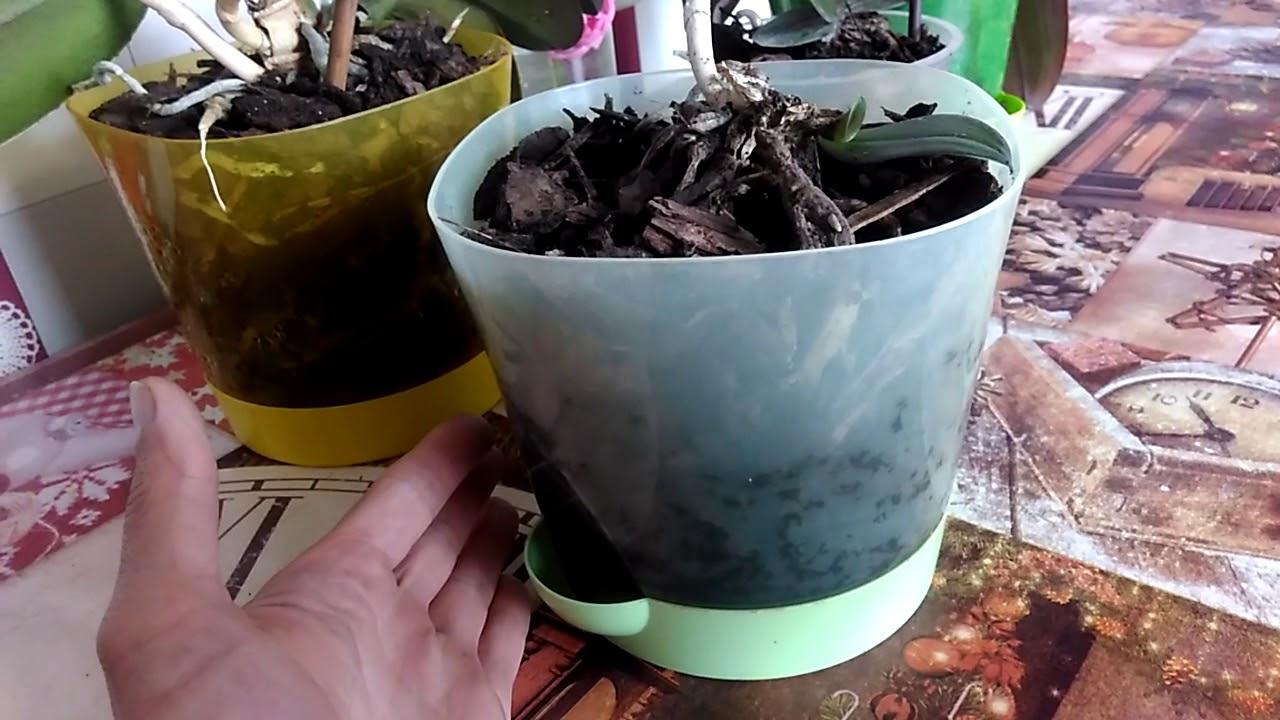 Как дома размножить орхидею