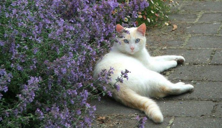 Кошачья мята что это за растение