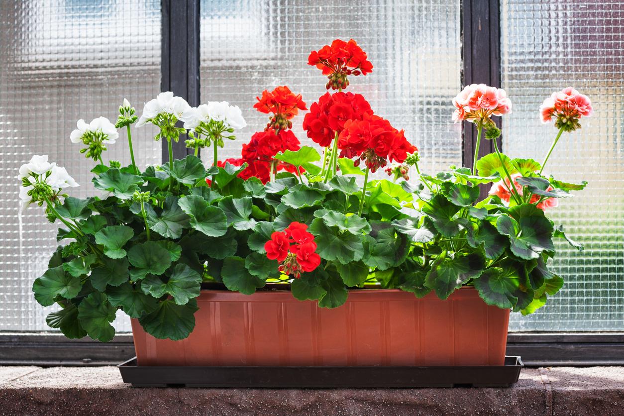 Можно ли пересаживать цветущую герань после покупки: если нет, то когда это нужно делать?