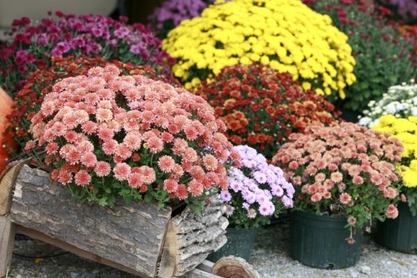 Уход за хризантемой мультифлора осенью
