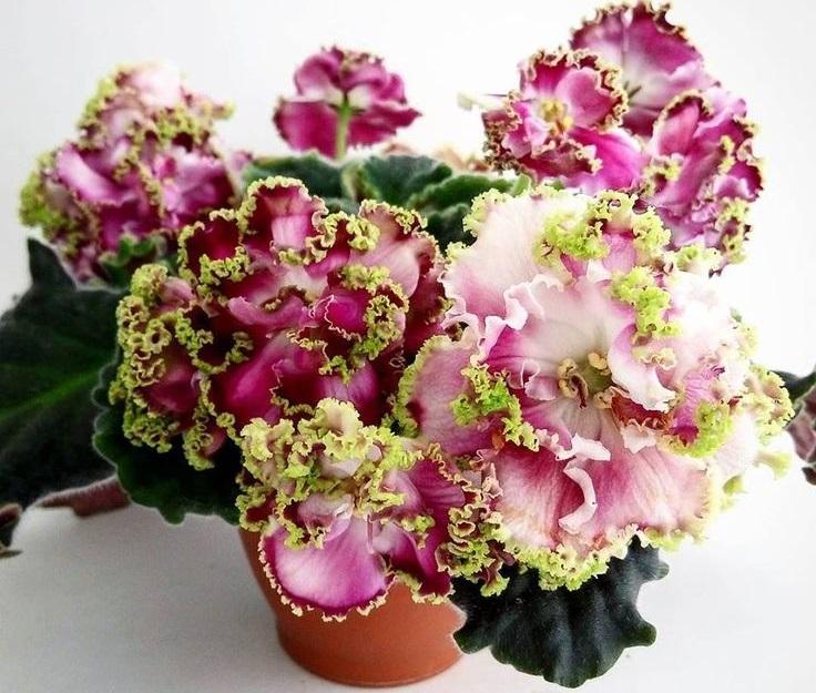 Фиалки сорта Эсмеральда  нежные и красивые цветы