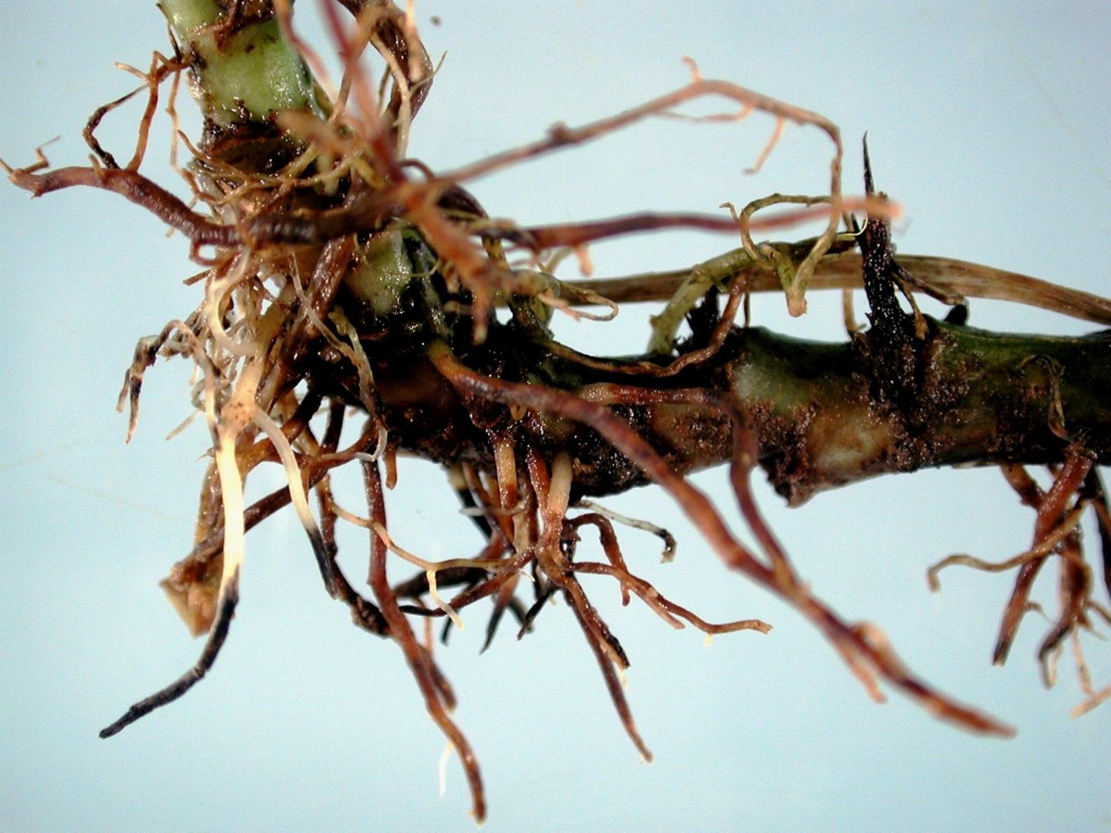 Болезни и вредители спатифиллума с фото