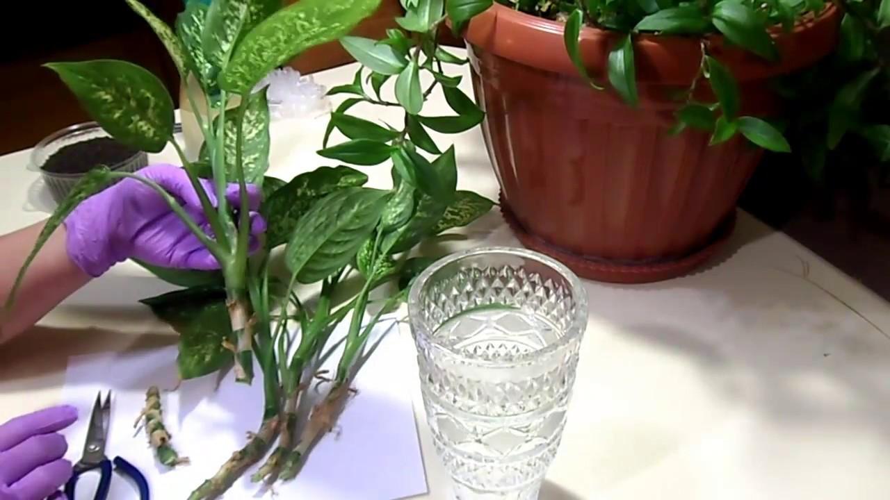 Размножение диффенбахии в домашних условиях: верхушкой, черенками и отводками