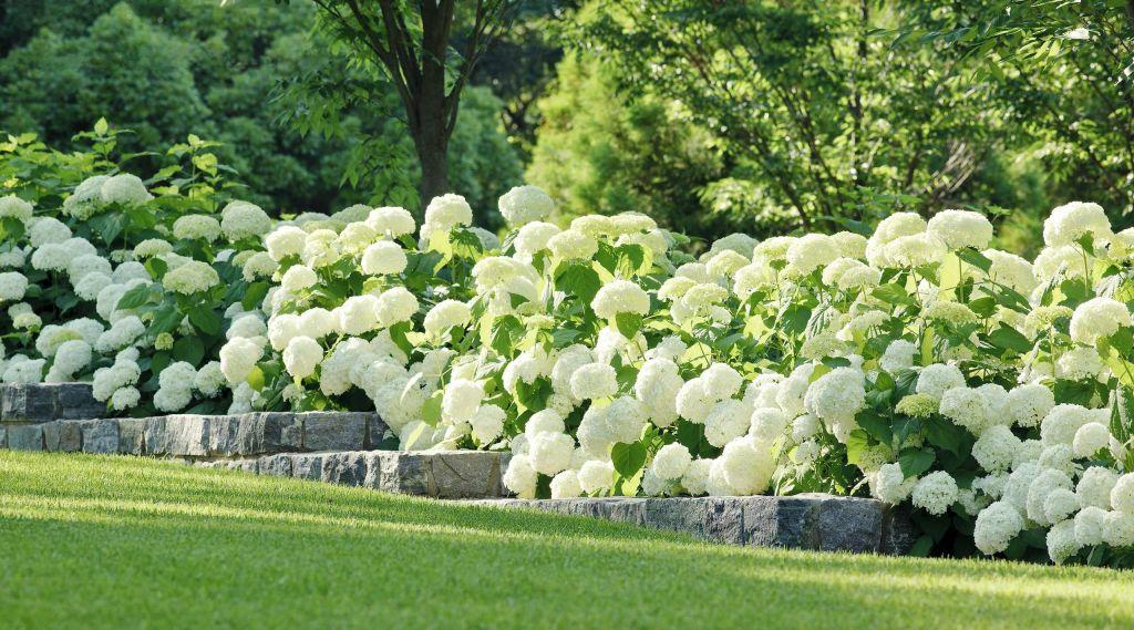 Соседство гортензии с другими растениями — Зеленый мир