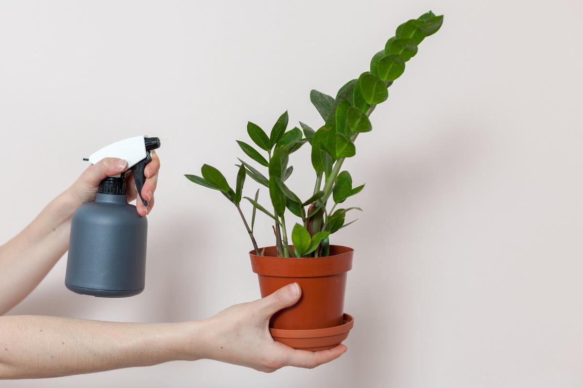 Как поливать замиокулькас правильно, чтобы не погубить