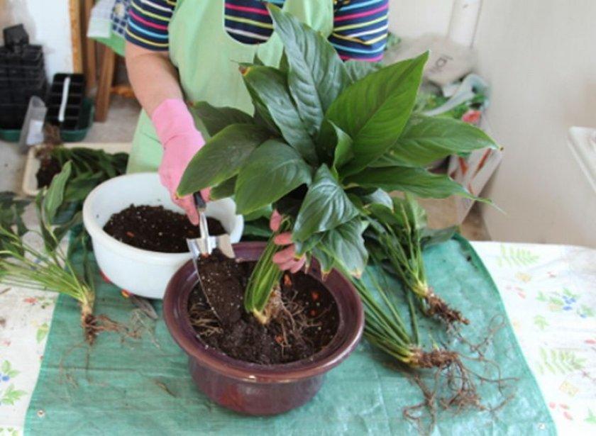 Размножение спатифиллума семенами