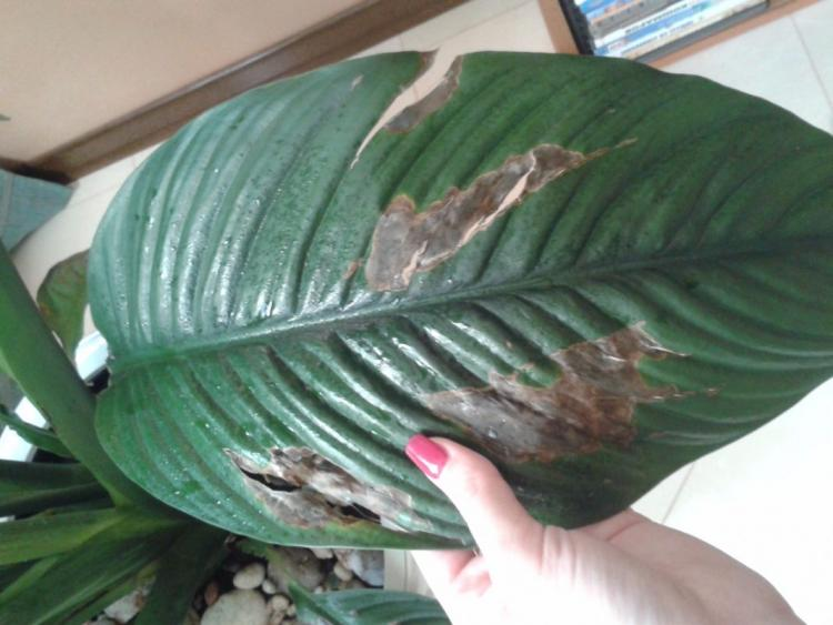 Почему кончики листьев чернеют и сохнут