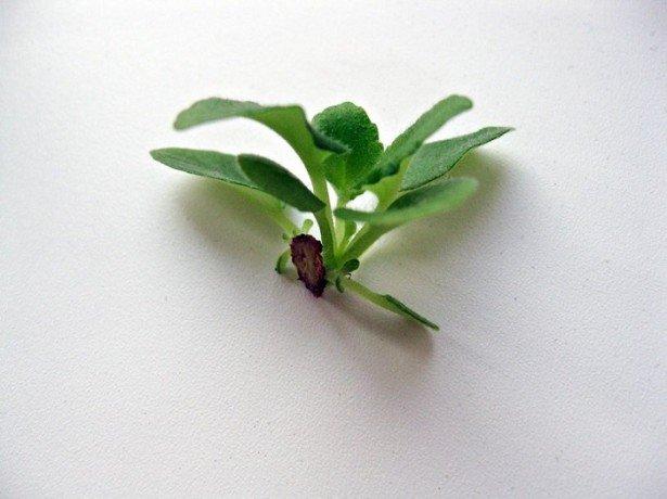 Размножение фиалки из листа 29 фото как размножить сенполию листом в домашних условиях пошагово Как посадить и укоренить лист