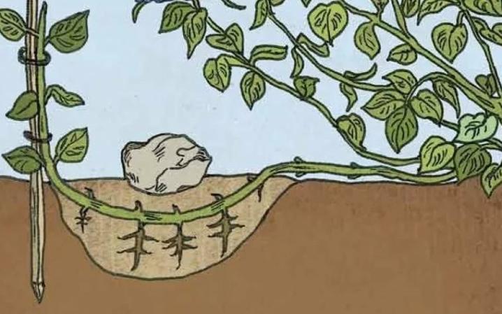 Гортензия метельчатая посадка и уход в открытом грунте в спб