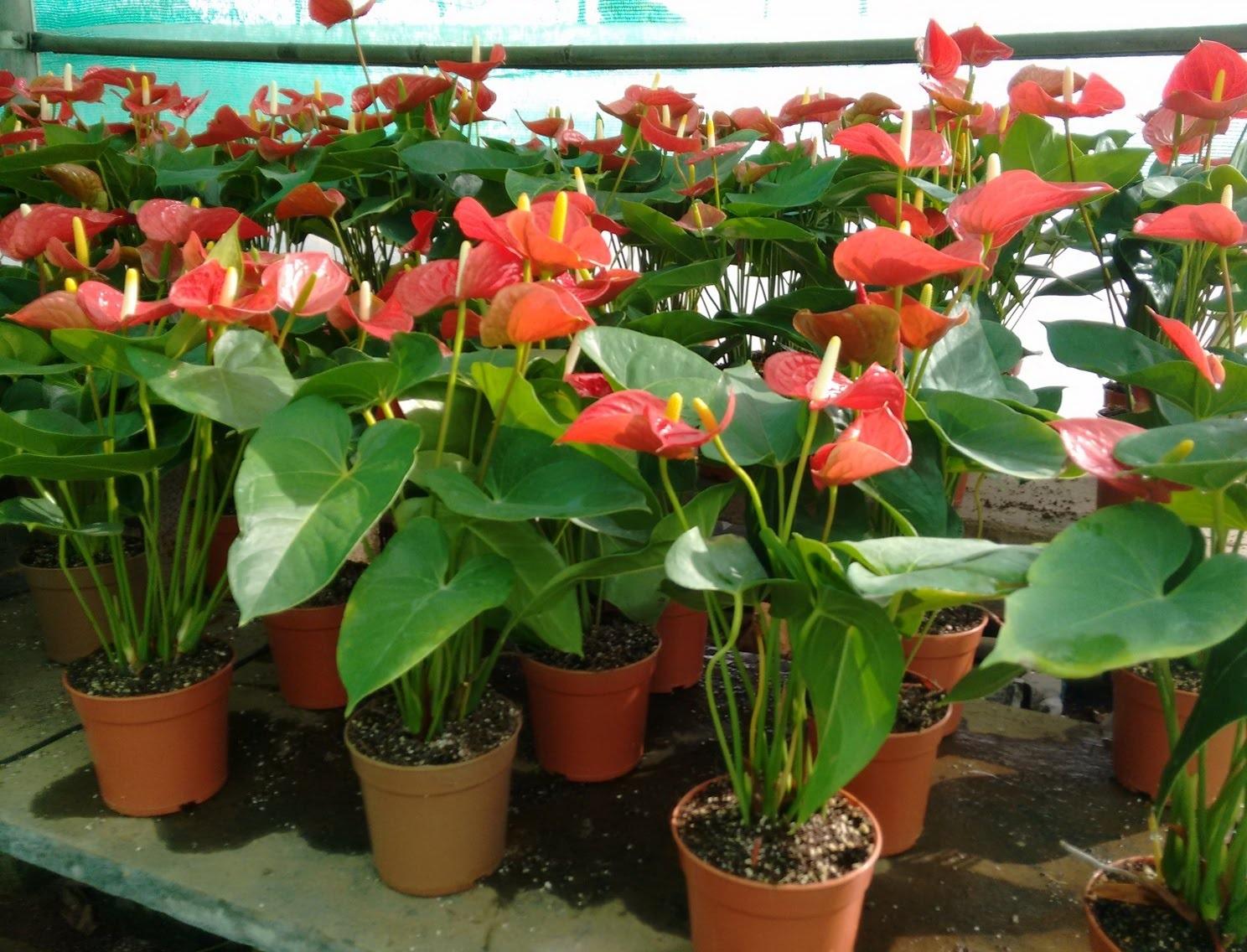Антуриум цветок пересадка в домашних условиях
